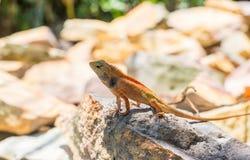 在热的晴朗的石头的小橙色鬣鳞蜥蜥蜴 在地面的橙色蜥蜴 在狂放的自然的布朗鬣鳞蜥 免版税库存图片