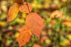 在焦点在的被弄脏的一棵椴树的一片红色秋天叶子 库存图片