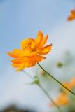 在焦点的波斯菊橙色花 免版税库存照片