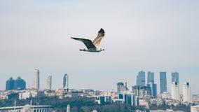 在焦点飞行的海鸥在伊斯坦布尔都市风景土耳其前面 免版税库存图片