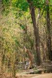 在焦热在bandhavgarh老虎储备的夏天著名母老虎休息与她的崽在tadoba waterhole附近 图库摄影