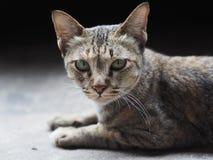 在照相机的说谎的猫凝视 免版税库存照片