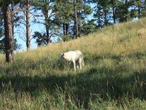 在熊国家的北冰的狼 免版税库存照片
