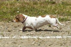 在熏肉香肠狗种族的短的腊肠犬 免版税库存照片