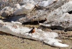在熔化的冰川的第一只知更鸟 库存图片