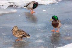 在熔化的冰的三只鸭子 图库摄影