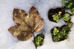 在熔化的雪的干燥枫叶 免版税图库摄影