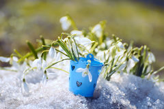 在熔化的雪的Snowdrop花 库存照片