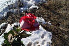 在熔化的雪背景的三朵玫瑰 免版税库存照片