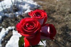 在熔化的雪背景的三朵玫瑰 库存照片