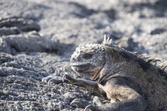 在熔岩岩石的加拉帕戈斯群岛海产鬣蜥蜴 免版税库存图片