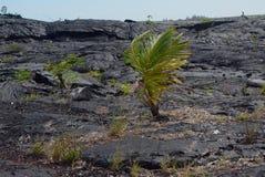 在熔岩的孤立棕榈 免版税库存图片