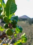 在熔岩的植被晃动, riping在无花果树, Timanfa的无花果果子 免版税库存照片