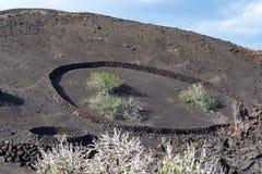 在熔岩的植被晃动, riping在无花果树, Timanfa的无花果果子 免版税库存图片