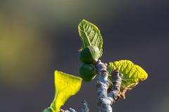 在熔岩的植被晃动, riping在无花果树, Timanfa的无花果果子 图库摄影