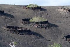 在熔岩的植被晃动, riping在无花果树, Timanfa的无花果果子 库存照片