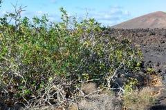 在熔岩的植被晃动, riping在无花果树, Timanfa的无花果果子 库存图片