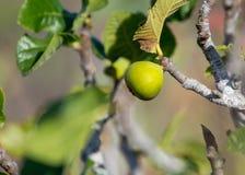在熔岩的植被晃动, riping在无花果树, Timanfa的无花果果子 免版税图库摄影