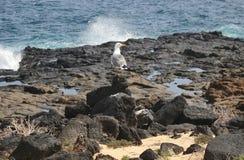 在熔岩石头的一只海鸥在海前面 图库摄影
