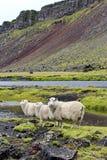 在熔岩荒野, Eldgja,冰岛的绵羊 免版税库存照片