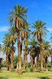 在熔炉小河,死亡谷国家公园,加利福尼亚的枣椰子 免版税库存图片