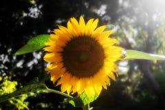 在燃烧的阳光下的向日葵 库存图片
