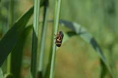在燕麦词根的蚂蚱 库存照片