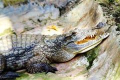 在爬行动物公园的一只非洲鳄鱼在乌干达 图库摄影