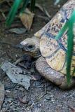 在爬行动物公园的一只125年草龟在恩德培在乌干达 库存照片
