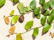 在爬行无花果围拢的奶油色墙壁上的蜗牛 库存图片