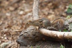 在爬行植物的小灰鼠 免版税库存图片