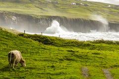 在爱尔兰狂放的大西洋途中的一个惊人的牧人场面,母牛由一个沿海小海湾平安地吃草在大浪 免版税图库摄影