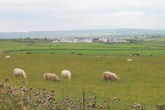 在爱尔兰领域的绵羊 库存图片