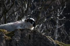 在爱尔兰` s浩大的Donegal山的一只山绵羊环境美化 库存图片