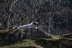 在爱尔兰` s浩大的Donegal山的一只山绵羊环境美化 免版税图库摄影
