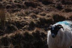 在爱尔兰` s浩大的Donegal山的一只山绵羊环境美化 免版税库存图片