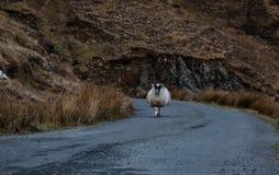 在爱尔兰` s浩大的Donegal山的一只山绵羊环境美化 图库摄影
