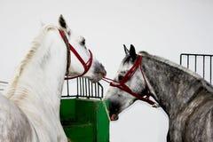在爱情戏的两匹马 免版税图库摄影