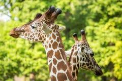 在爱的两头长颈鹿 免版税库存图片