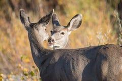 在爱的两头鹿 免版税图库摄影