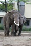 在爱的大象 免版税库存图片