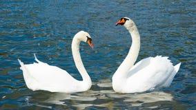 在爱的天鹅,海德公园伦敦 股票录像
