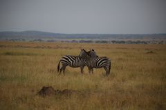 在爱的斑马在塞伦盖蒂全国保留区域 免版税库存图片