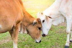 在爱的母牛在自然阳光 免版税库存图片