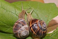 在爱的蜗牛 免版税库存照片