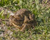 在爱的青蛙 免版税库存照片