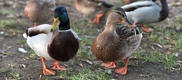 在爱的鸭子。野鸭鸭子和女性 免版税库存照片