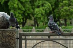在爱的鸽子 免版税库存图片