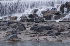 在爱达荷秋天银行的鸭子  免版税库存照片