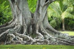 在爱迪生和福特冬天庄园背后的一棵大榕树在Ft 梅尔思,佛罗里达 免版税库存照片
